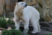 Titelbild des Albums: 05.06.2010 - Knut / Berliner Zoo
